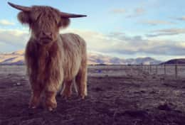 Highland Farmstay - Cattle
