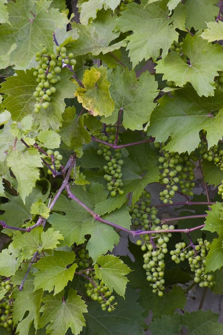 Grapes at Pine Grove Park Bed and Breakfast Guest House in Reedsburg