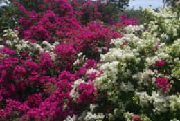 Crater Bougainvillea Hedge