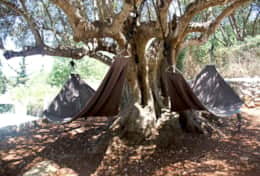 Hammock chairs under olive tree