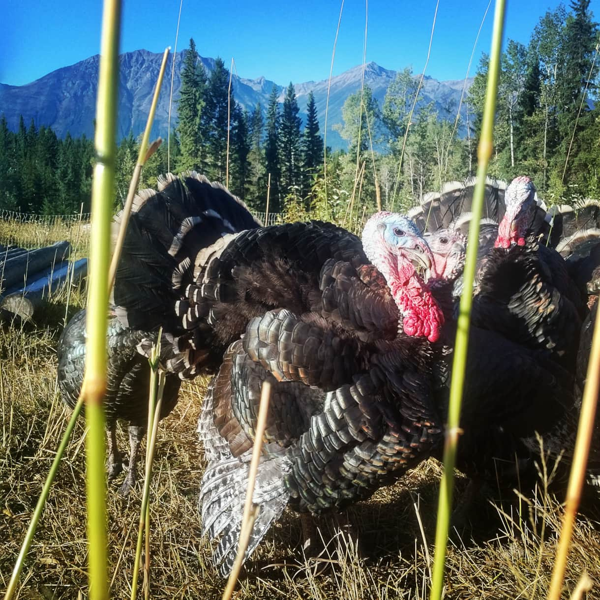 Pasture raised turkeys in the summer. Seasonal paid ranch tours on request