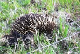 Echidna feasting in the paddock