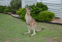 Kangaroo on our footpath