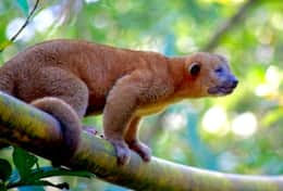 Kinkajou in the Garden