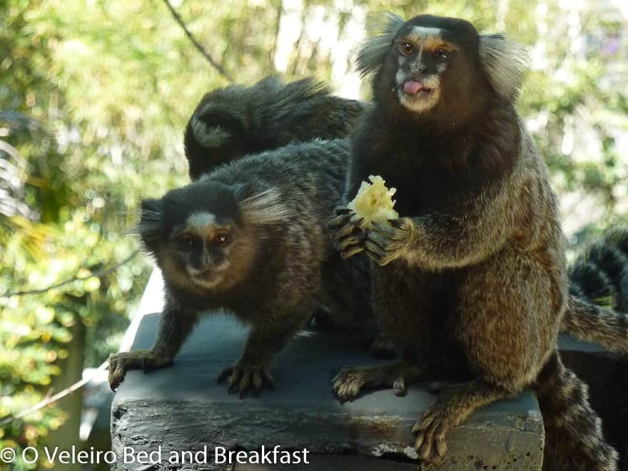 Marmoset monkeys visit for breakfast
